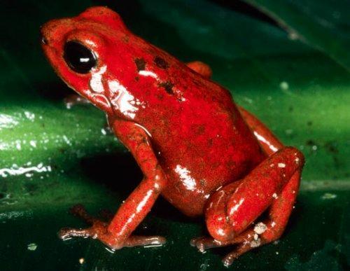 红带箭毒蛙全球毒性最强的物种欲闯关