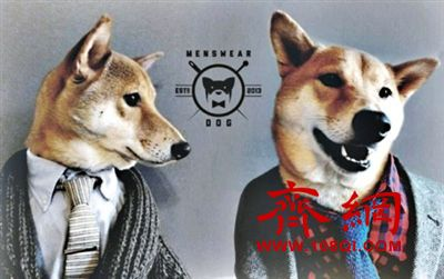 男装犬模:美4岁柴犬代言多个品牌