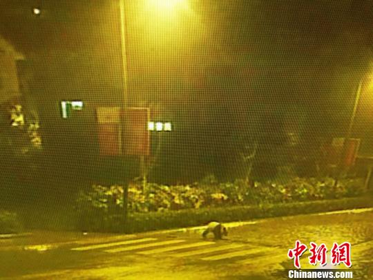 四川映秀街头发现大熊猫 仍在寻找其踪影