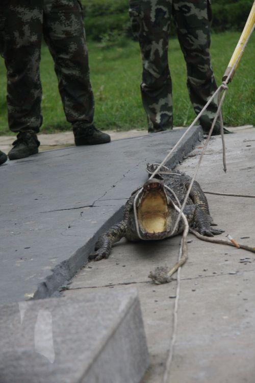 山东街头蹿出鳄鱼 鳄鱼张开的血盆大口