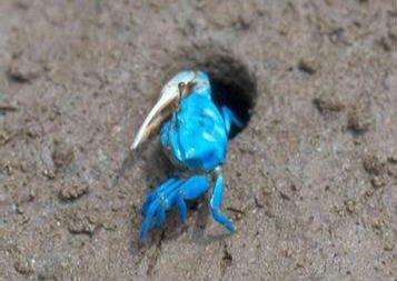 蓝色螃蟹惊现厦门 网友质疑是否变异