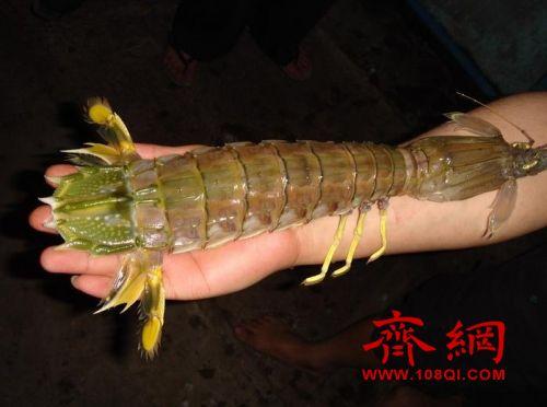 捕获半米巨虾 能算得上是龙虾的近亲