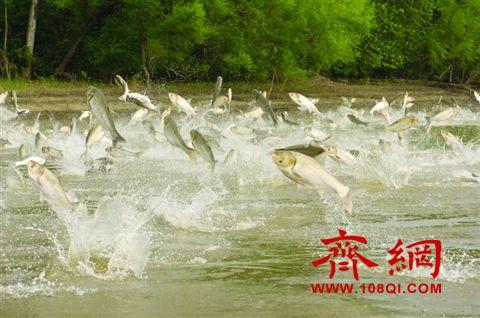 亚洲鲤鱼入侵美国疯狂繁殖 美专家中国取经