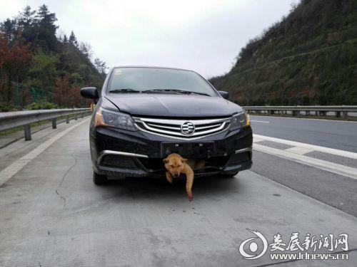 小狗高速上被撞进车身 800里生还狗坚强