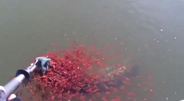 母蛇头鱼被钓起 上千条红色小鱼相救