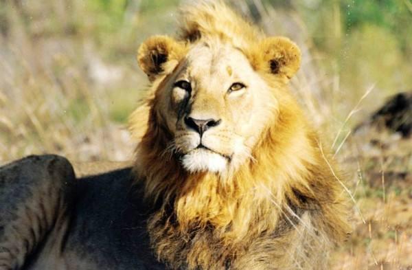 是什么让宠物非洲狮袭击它的主人